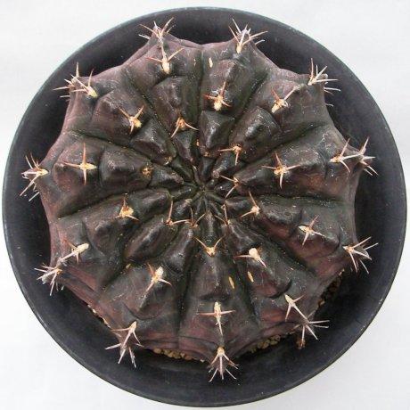 Sany0086--rotundicarpum--Piltz seed