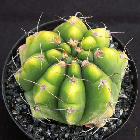 Sany0051--paraguayense--LB 0106--Bercht seed 1945(2007)