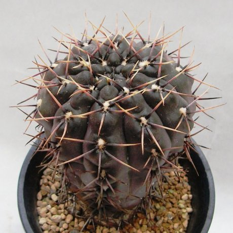 Sany0092--kieslingii v castaneum--VS 50--Mesa seed 469.42