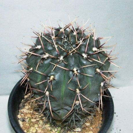 Sany0176--kieslingii v castaneum--VS 50--Mesa seed 469.42
