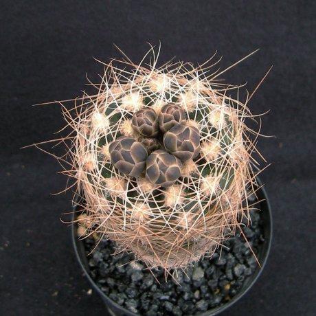 Sany0198--carolinense ssp ludwigii eltrebolense--JPR 103-248--