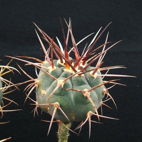 Sany0051--armatum--JO 129.1--Paichu Centro--bercht seed
