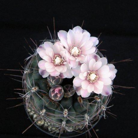 Sany0076--andreae-ssp carolinense--GN 273-880--Piltz seed 3410