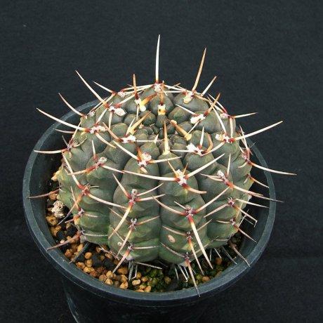 Sany0096--schroederianum paucicosttatum--LB 960--Mesa seed 488.62