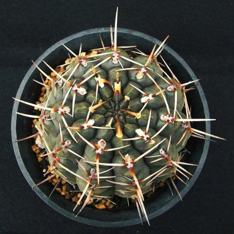 Sany0095--schroederianum paucicostatum--LB 960--Mesaseed 488.62
