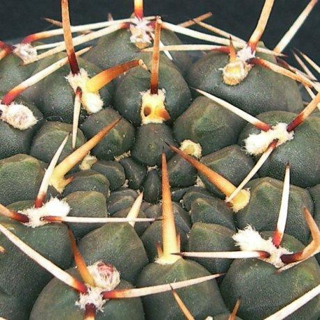 Sany0097--schroederianum paucicostatum--LB 960-Mesa seed