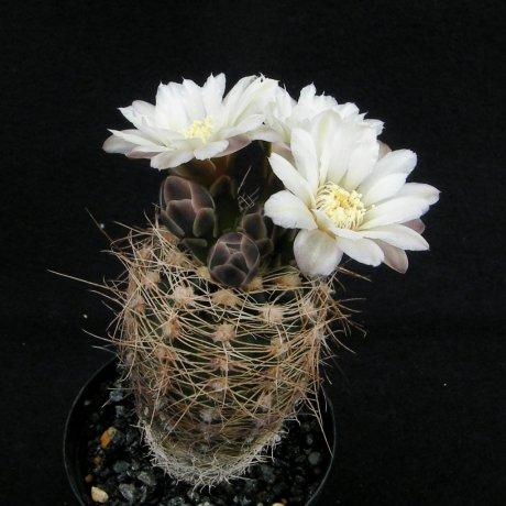 Sany0130--carolinense ssp ludwigii v eltrevolense--JPR 103-248--ex Eden 16124