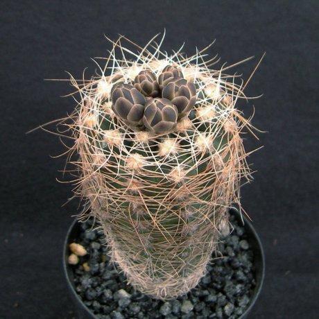 Sany0197--carolinense ssp ludwigii v eltrebolense--JPR 103-248--south of Villa Carmen Sierra de Comechigones SL 1010m--ex Eden 16124--