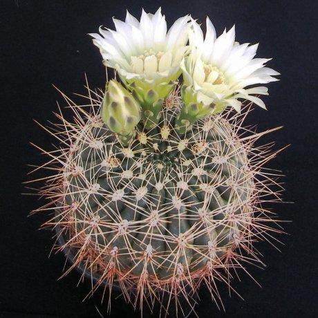170424--Sany0091--maldelplatense--WP 59-73--Piltz seed 3530