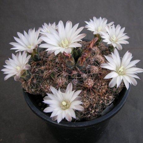 Sany0085--bruchii ssp cumbresitense--GN 232-718--Calamchita --Piltz seed 3585