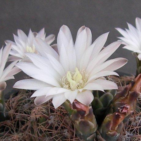 Sany0087--bruchii ssp cumbresitense--GN GN 232--718