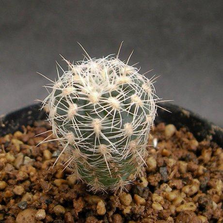 Sany0168--bruchii ssp ludwigii v eltrebolense--WP 76-100--Villla del Carmen SL--Bercht seed 2608(2014)