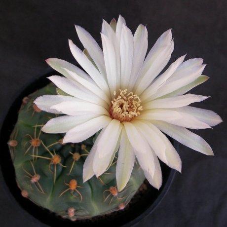 Sany0208--angelae--Piltz seed 4975--