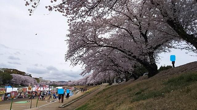 170409 桜④ ブログ用目隠し