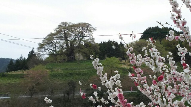170420 醍醐桜⑩ ブログ用