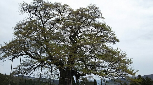 170420 醍醐桜⑨ ブログ用