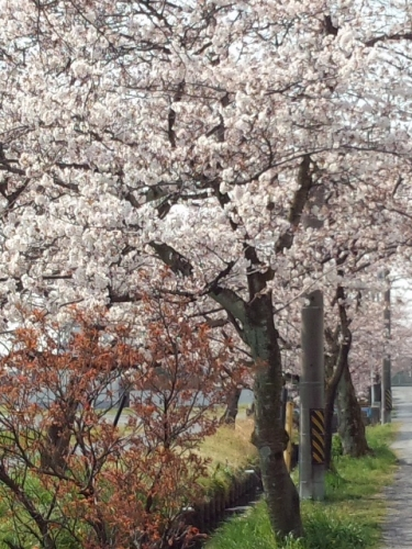 2017-4桜