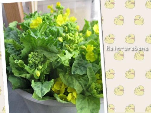 朝採った菜花♪