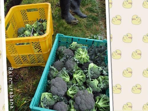 白菜の収穫よりもかなり楽 (^ ^V