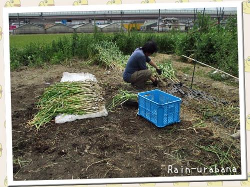ニンニクの収穫ぅ~♪