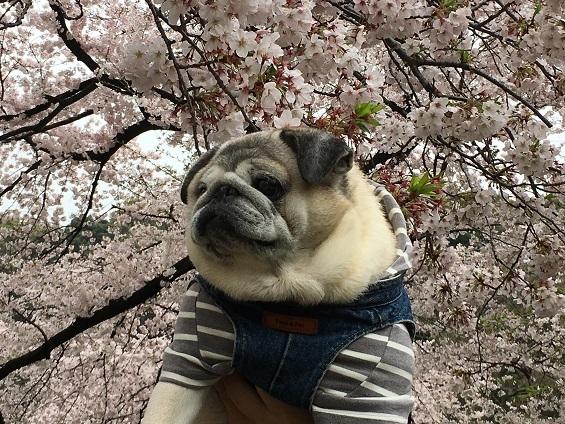 お花見2017その2
