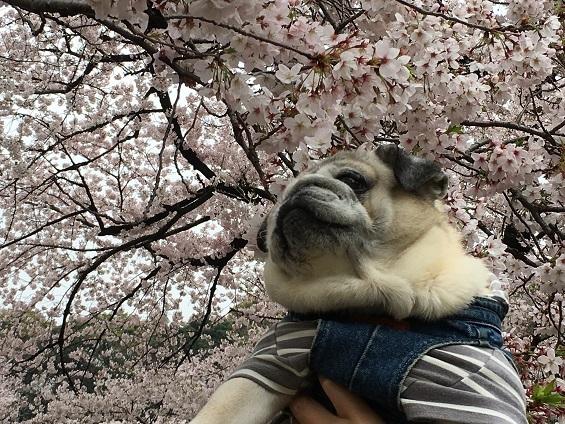 お花見2017その3