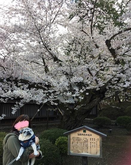 日本最古のソメイヨシノ 20170428