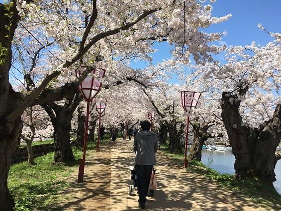桜のトンネル20170428の1