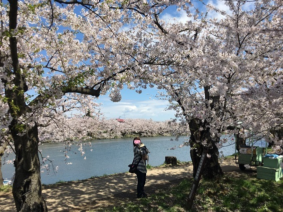桜のトンネル20170428の3