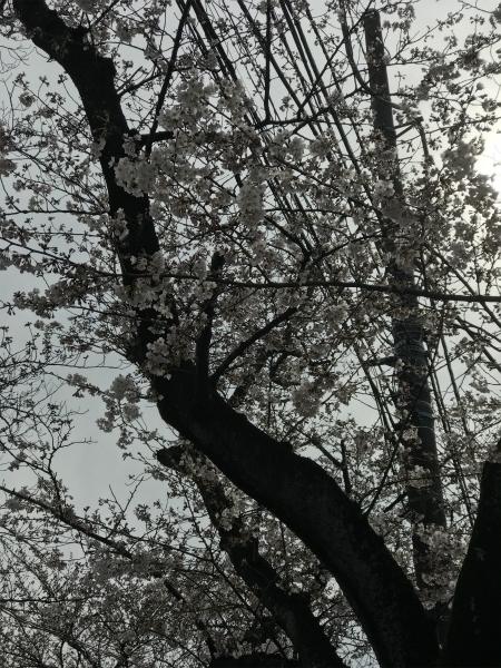 170402桜祭り②