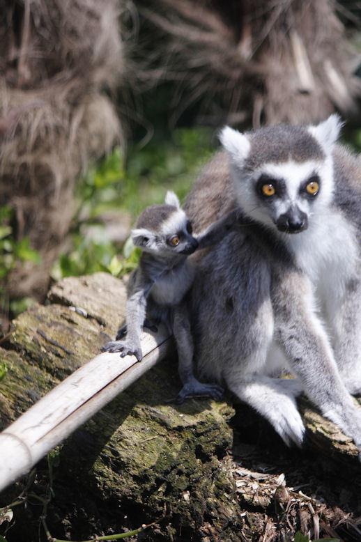 '17.4.2 ring tail lemur 3351
