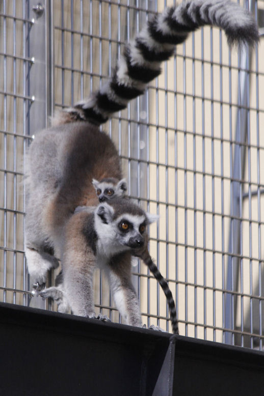 '17.4.2 ring tail lemur 3669