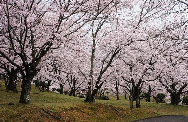 散策路は、満開の桜並木♪