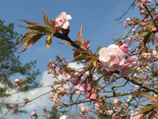 吉備中央公園内の八重桜