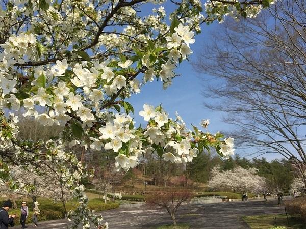 吉備中央公園の山桜