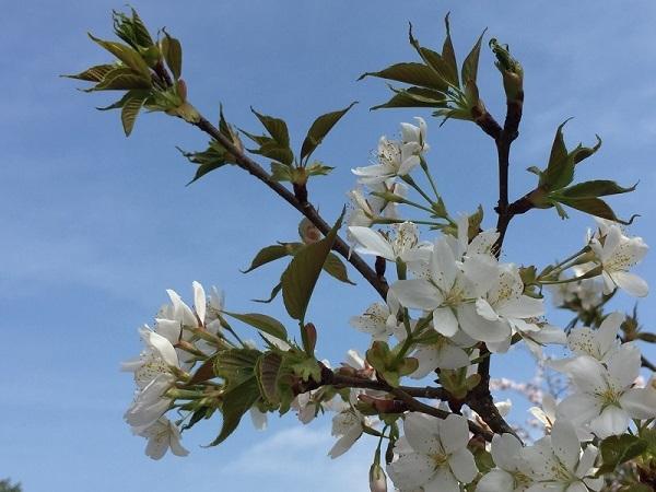 ソメイヨシノより白い山桜の仲間