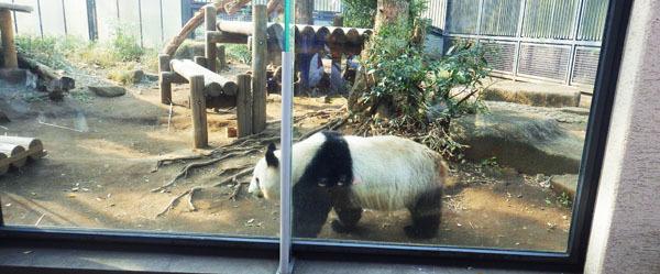目の前を歩くパンダ