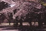 3.桜-04Pt