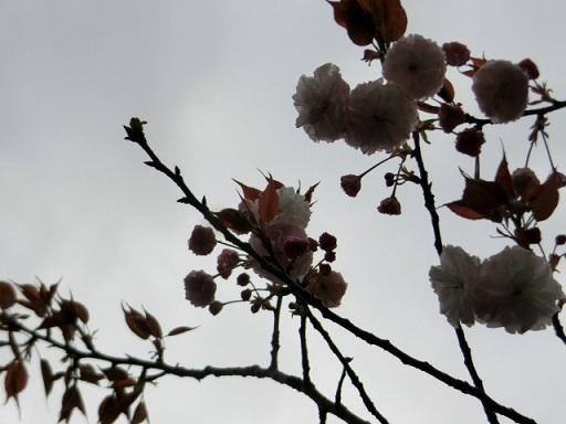 2017-04-17 yaezakura