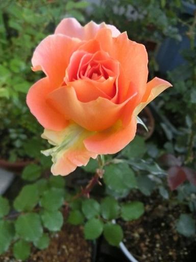 2017-04-28 rose
