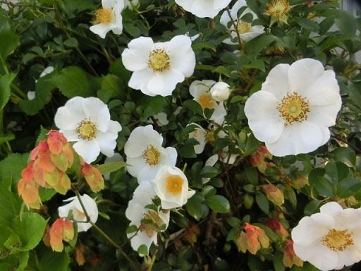 2017-04-28 rose2
