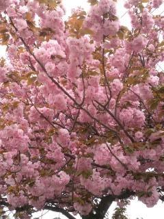 ぼたん桜2