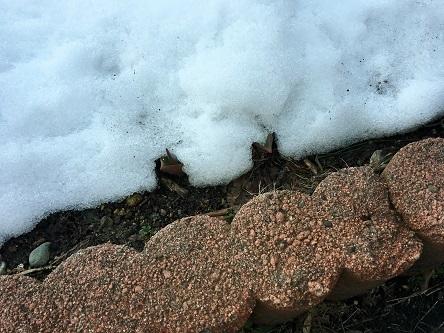 雪の下チューリップ
