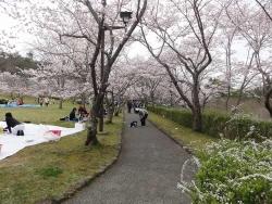 鏡山公園桜が満開20170409-04