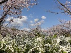 鏡山公園の桜20170412-03