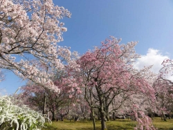鏡山公園の桜20170412-04