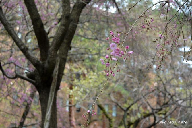 枝垂れ桜一枝