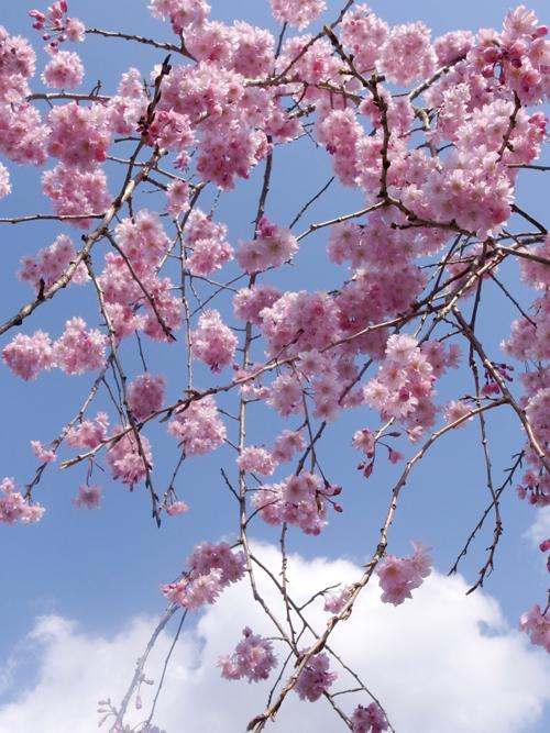cherry_blossom_17_4_15_4.jpg