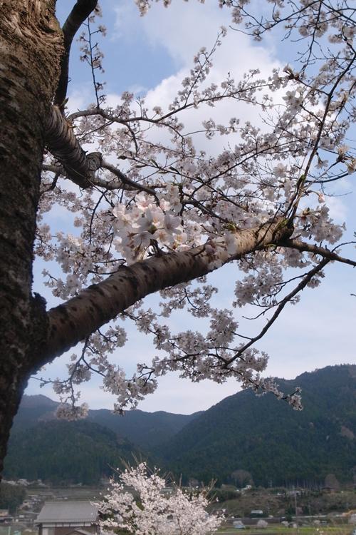 cherry_blossom_17_4_15_5.jpg