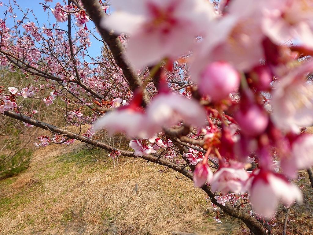 桜 20170319